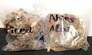 picea-and-abies-alba.jpg